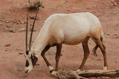 大羚羊在菲尼斯动物园里 库存照片