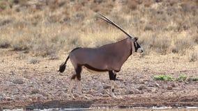 大羚羊完成的饮用水 股票视频