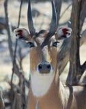 大羚羊或者蓝牛羚,一只亚洲羚羊 库存照片