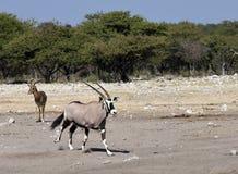 大羚羊纳米比亚羚羊属 免版税库存照片