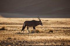 大羚羊羚羊属在纳米比亚沙漠吃草 免版税库存图片