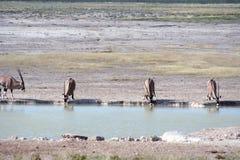 大羚羊羚羊属waterhole 库存图片