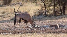 大羚羊饮用水 股票录像