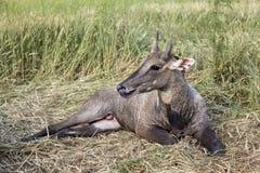 大羚羊(蓝牛羚),印度 图库摄影