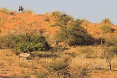 大羚羊 免版税图库摄影