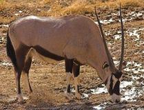 大羚羊 免版税库存照片