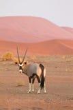 大羚羊 库存照片
