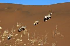 大羚羊- Sossusvlei -纳米比亚 图库摄影