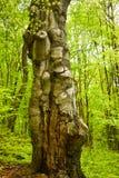 大老和扭转的树干在绿色森林里在一个春日 免版税库存图片