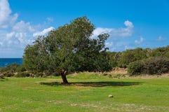 大老橄榄树、水多的绿草和蓝天 免版税图库摄影