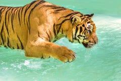 大老虎在水中 库存照片