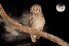 大老鹰猫头鹰和月亮 库存图片