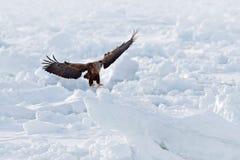大老鹰,雪海 飞行白盯梢了老鹰, Haliaeetus albicilla,北海道,日本 行动与冰的野生生物场面 在f的老鹰 免版税库存图片