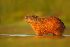 大老鼠在水中 水豚, Hydrochoerus hydrochaeris,最大的老鼠在与晚上光在日落期间,动物的水中我 免版税库存图片