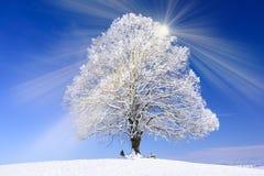 大老椴树在与雪的冬天 库存图片