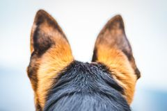 大耳朵德国牧羊犬狗 库存图片