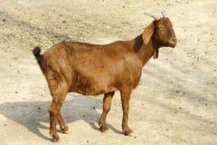 大耳朵绵羊 免版税库存图片