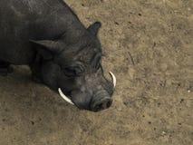 大肚子公猪或SU scrofa vittatus是有它的起源在越南和中国的猪 免版税库存图片