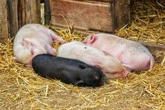 大肚子小猪 免版税库存照片