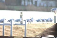 大肚子鸥基于湖 库存照片