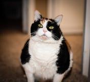 大肥胖杂色猫 库存照片