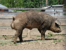 大肮脏的肉猪 库存图片