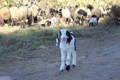 大胆的山羊 库存照片