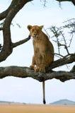 大胆的雌狮 库存图片