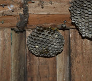 大胡蜂巢 黄蜂polist被采取特写镜头黄蜂家庭的巢  免版税库存照片