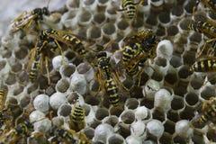 大胡蜂巢 黄蜂polist被采取特写镜头黄蜂家庭的巢  库存图片