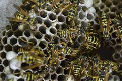大胡蜂巢 黄蜂polist被采取特写镜头黄蜂家庭的巢  免版税库存图片