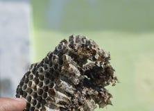 大胡蜂巢 黄蜂polist 库存照片