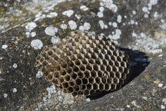大胡蜂巢 黄蜂polist 免版税库存图片