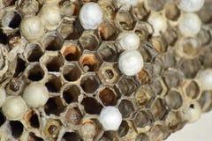 大胡蜂巢 库存照片