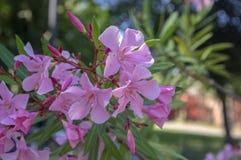 大花夹竹桃夹竹桃花、桃红色装饰美丽的灌木在绽放,花在分支和绿色叶子 库存图片