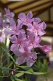 大花夹竹桃夹竹桃花、桃红色装饰美丽的灌木在绽放,花在分支和绿色叶子 图库摄影