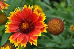 大花的天人菊属植物 库存照片
