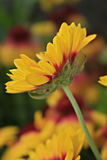 大花的天人菊属植物 库存图片
