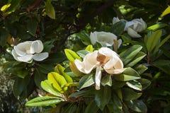 大花的木兰 免版税库存照片