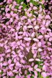 大花的藤本植物,孟加拉时钟藤,孟加拉喇叭 库存照片