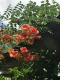 大花的Campsis,中国喇叭藤 免版税库存图片