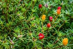 大花的Portulaca是马齿苋科的植物 库存照片