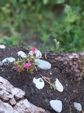 大花的Portulaca,多汁 库存照片