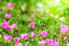 大花的Portulaca (青苔玫瑰歼击机杀死或青苔玫瑰),家庭 图库摄影