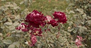 大英国兰开斯特家族族徽在秋天庭院里 股票录像