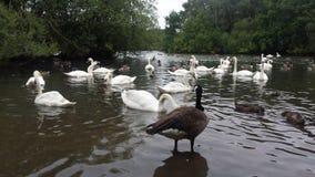 大英国,公园在伦敦,湖,天鹅 图库摄影