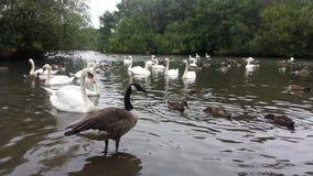 大英国,公园在伦敦,湖,天鹅 免版税图库摄影