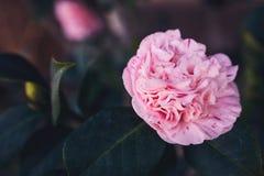 大茶上升了与在灌木的精美波浪桃红色瓣 与红色补丁的淡紫色花与深绿冷的叶子 自然酸碱度 库存照片