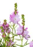 大草原冬葵的桃红色花 免版税图库摄影