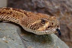 大草原响尾蛇响尾蛇viridis,西部响尾蛇是种类居住到美国西部的有毒坑蛇蝎 免版税库存图片